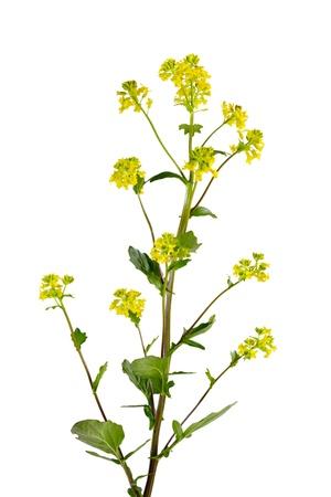 Common Winter Cress  Yellow Rocket  Barbarea vulgaris flower plant Banco de Imagens