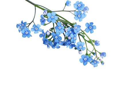 fiori di campo: Blu Per Get Me Not fiore isolato su bianco Archivio Fotografico