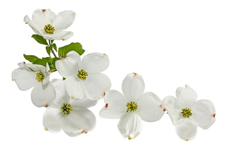 Pink white dogwood blossom spring flower isolated on white