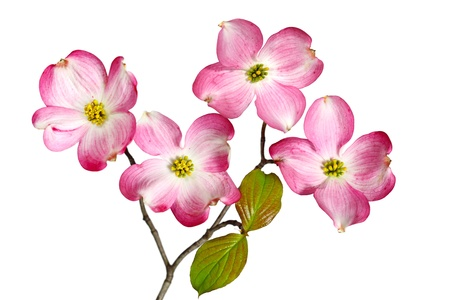 april flowers: Red Dogwood Blossom flowers isolated on white background