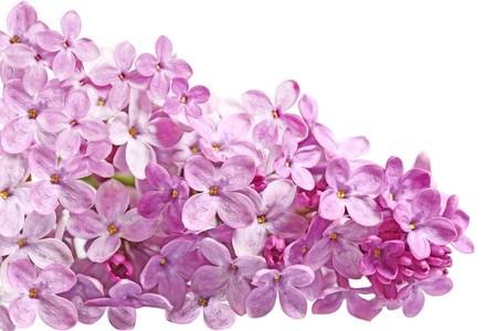 Lilac blossom spring summer flower isolated on white Imagens