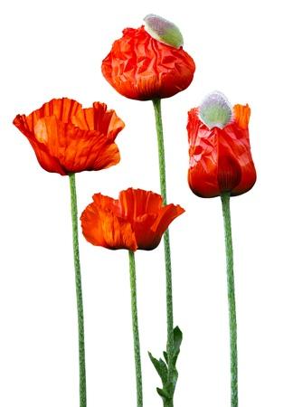 oriental poppy: Big brilliant Red Oriental Poppy flowers   Papaver orientale  Brilliant