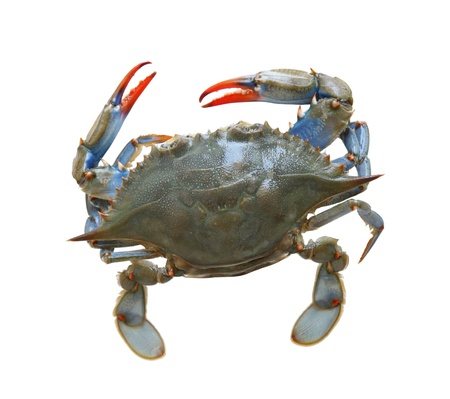 Blue sea crab isolated on white background photo