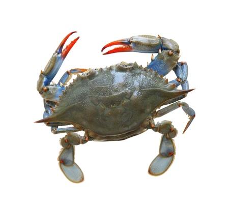 cangrejo: Cangrejo de mar azul aislado sobre fondo blanco