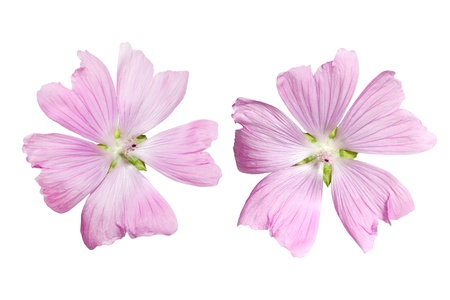 mallow: Pink Musk Mallow Malva moschata flower isolated on white Stock Photo