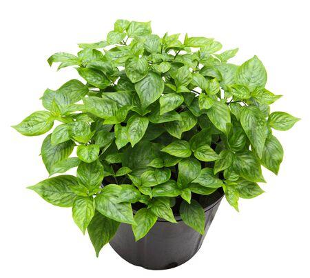 Peristrophe roxburghiana plant in a pot isolated on white