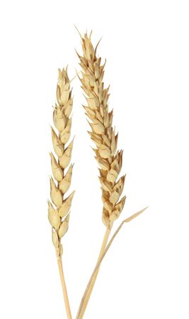 beardless: Beardless wheat ears isolated on white