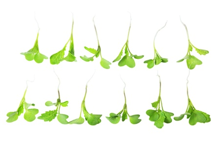 Two rows of young mustard green sprout plants isolated on white