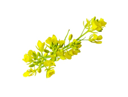 Rapeseed flower isolated on white background