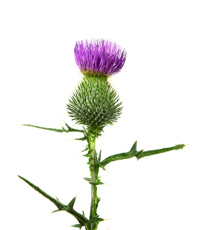thistle: Milk thistle flower plant isolated on white background