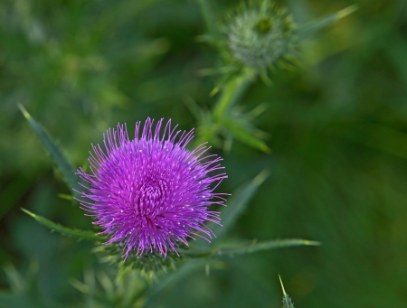 Single Scottish thistle flower photo