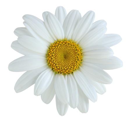 Singola margherita fiore isolato su sfondo bianco