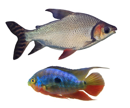 Aquarium fish isolated on white background Stock Photo - 17010350