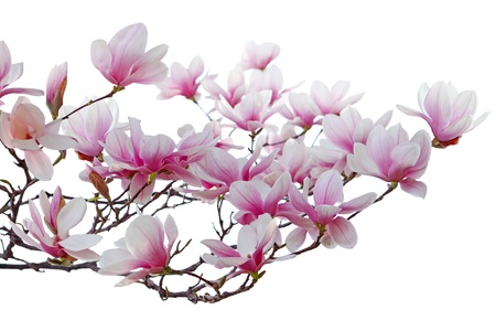 Pink Magnolia blossom in spring time isolated on white