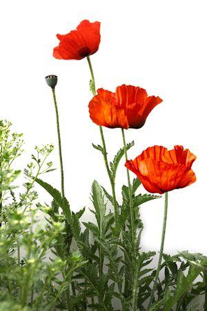 Poppy flower plant in the garden Stock Photo