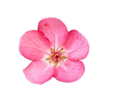 fleur de cerisier: Seule fleur de cerisier isol� sur fond blanc