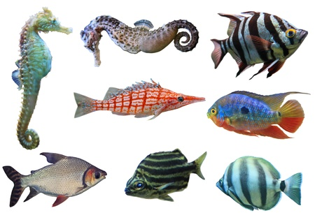Aquarium fish collection isolated on white background photo