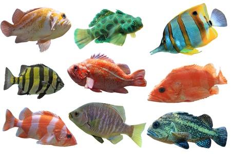 zanclus cornutus: Collage of aquarium fish isolated on white background