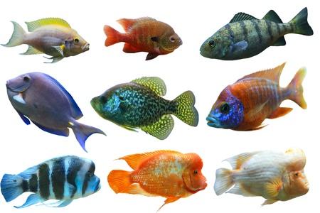 peces de acuario: Peces de acuario colorido conjunto aislado sobre fondo blanco Foto de archivo