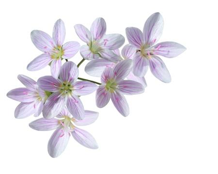 cuckoo:  Cardamine pratensis wildflower Cuckoo Flower  Stock Photo