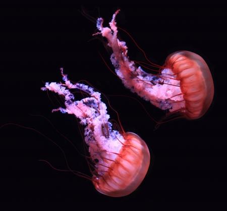 젤리: 검정 배경 위에 붉은 색의 해파리 해파리