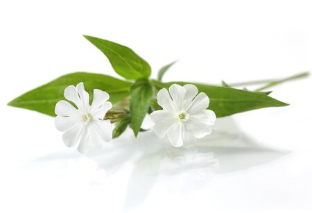 Silene latifolia White Campion Wildflower reflection on white background