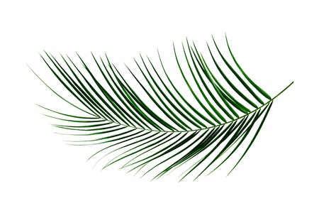 foliage frond: Fresh green palm leaf isolated on white background