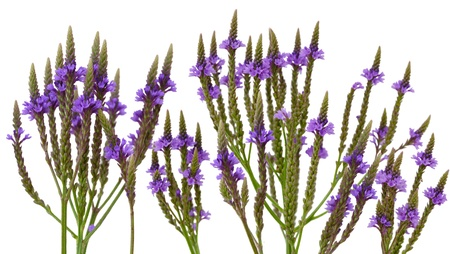 Purple vervain swamp verbena hastata wild flower isolated on white Stock Photo