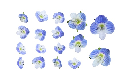 birdseye: Marco of tiny blue veronica Birdseye Speedwell, Veronica persica, Figwort wildflower