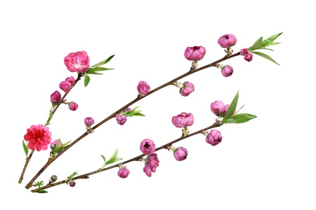 Beautiful fresh peach blossom flower isolated on white background