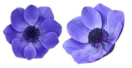 mona lisa: Beautiful purple anemone mona lisa blush flowers isolatated on white background