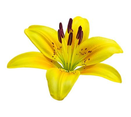 lemony: Single yellow lily flower isolated on white background