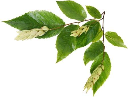 ironwood: Branch of leaf and fruit of Ostrya Hornbeam  Ironwood  isolated on white background