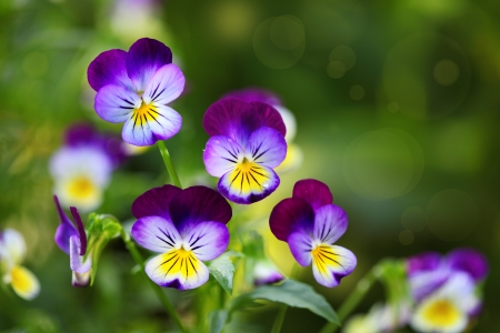 violas: Tricolor pansy flower plant natural background, summer time Stock Photo