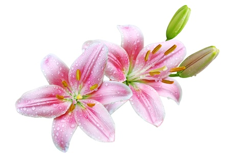 lilly: Pink lily flowers with water droplets isolated on white background