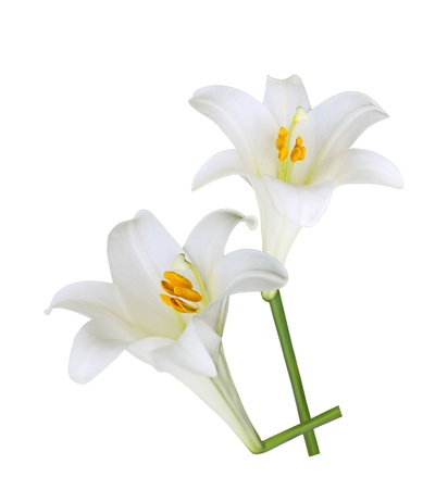 lillies: Fresh Easter Lily flowers isolated on white background