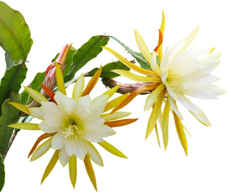 cereus: Yellow epiphyllum Flower plant isolated on white background Stock Photo