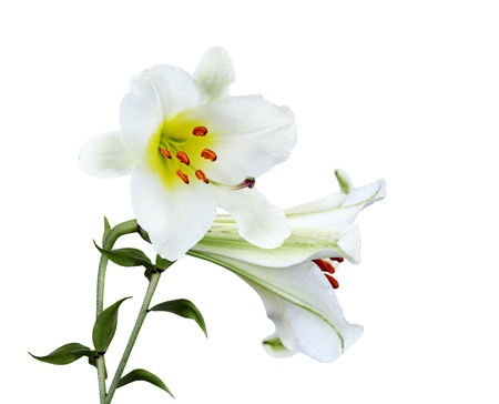 Big giant lily flower isolated on white background Imagens