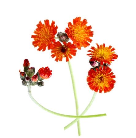 hawkweed: Orange Hawkweed  Devil Stock Photo