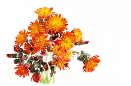 hawkweed: Orange Hawkweed Flower isolated on white