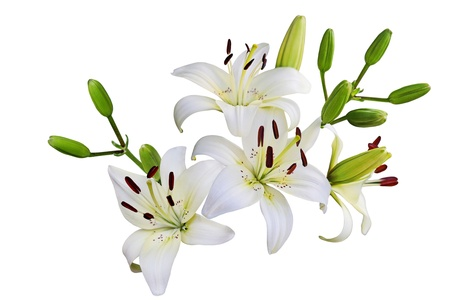 Fresh  lily flowers isolated on white background