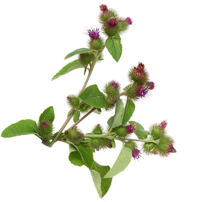 Great Burdock wild flower plant isolated on white background