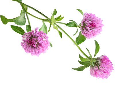 white clover: Pink  three leaf clover flower isolated on white background