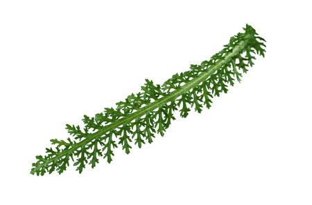 yarrow: Single fresh yarrow leaf isolated on white background