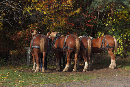 belgian horse: Four Belgian draft  horse backs ready for the Hayrides Stock Photo