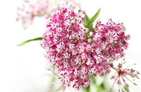perennial plant: Swamp Milkweed Wild Flower in the Heart shape
