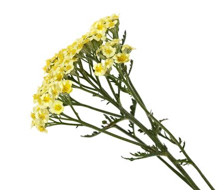 yarrow: Yellow Common Yarrow Achillea millefolium wild flower isolated on white background