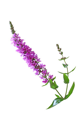 Lythrum salicaria  Purple Loosestrife  wild flower isolated on white background Фото со стока