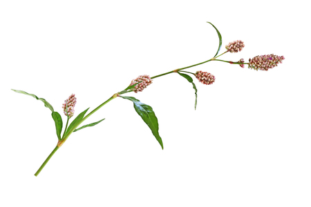 wild mint: Long-bristled Smartweed  Oriental Lady