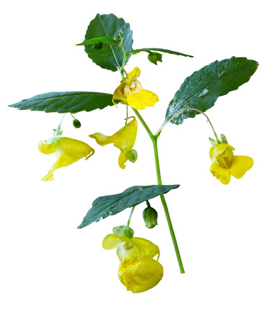 leguminosae: Yellow Pale Jewelweed Touch-me-not wildflower isolated on white background
